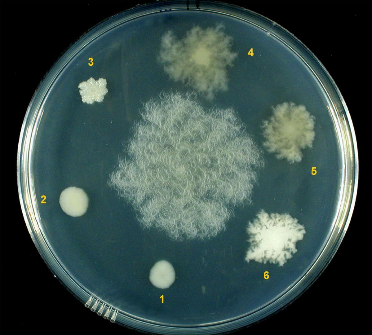Штамм Bacillus subtilis TPAC, резистентный к тетрациклину, рифампицину, ампициллину, стрептомицину, обладающий антибактериальной активностью по отношению к патогенным видам микроорганизмов