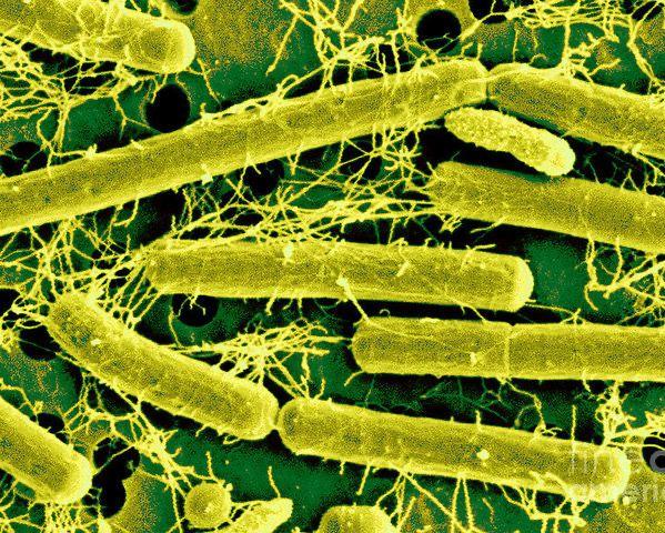 Штамм бактерий Lactobacillus acidophilus, используемый для коррекции дисбактериоза при желудочно-кишечных заболеваниях и у больных раком толстой кишки