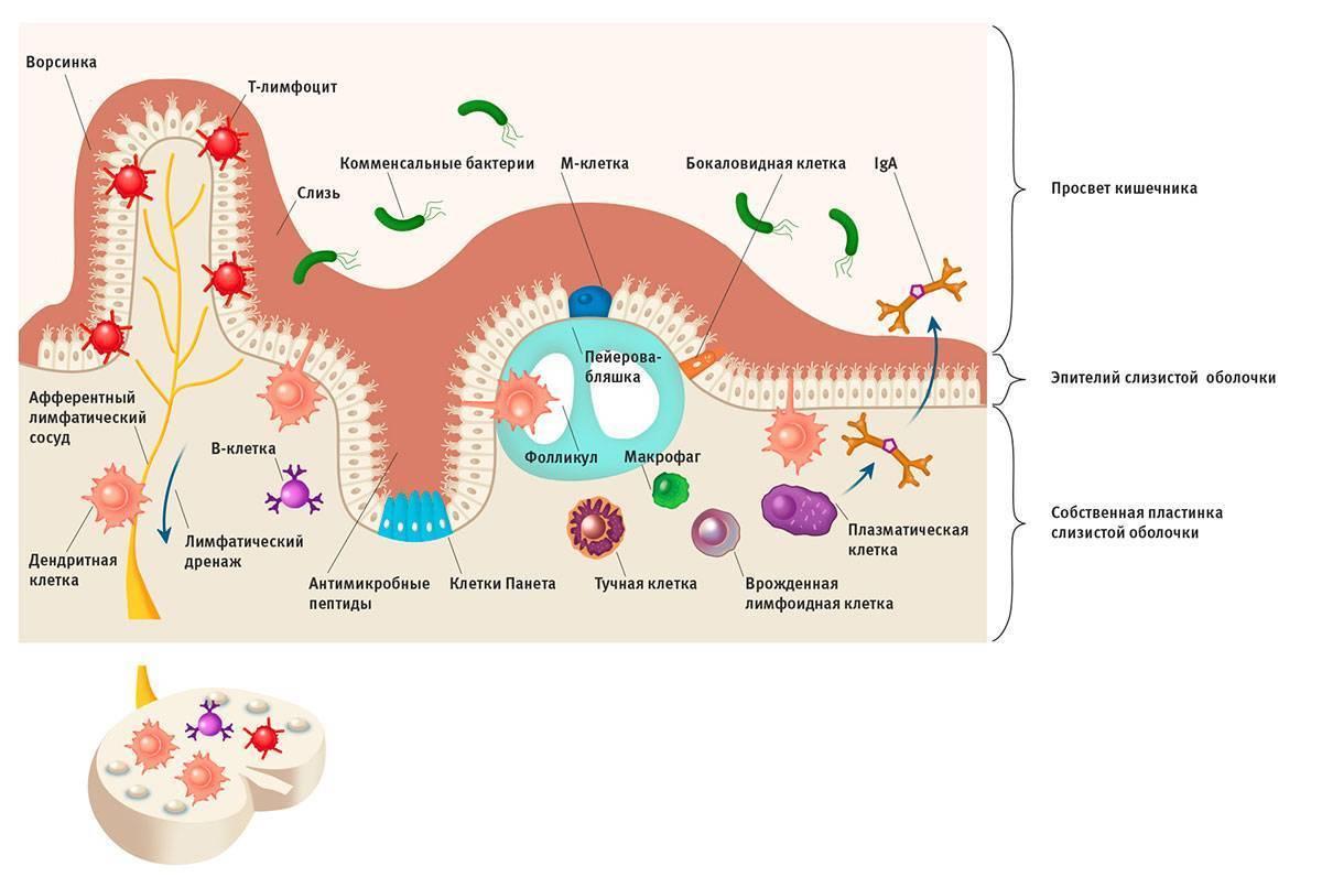 Молекулярные взаимосвязи в системе хозяин-микрофлора. Часть 1